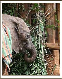 Murka in her stockade feeding - Nairobi nursery.jpg