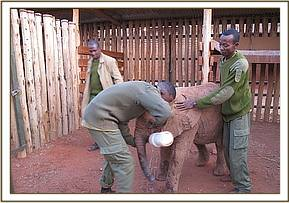 The Voi Keepers giving Bomani milk