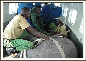 The Keepers sit with the calf in the rescue plane.jpg