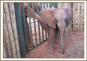 The little calf in the stockade at Voi, before being taken to the airstrip