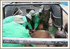 The keepers give the calf an anti-biotic injection