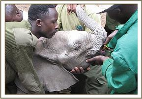 The David Sheldrick Wildlife Trust Keepers with the recently rescued calf.