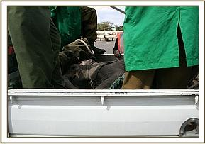 Taveta in the back of the pickup, preparing to leave Wilson Airport.