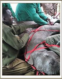 Taveta being strapped into the plane ready for his flight to Nairobi.