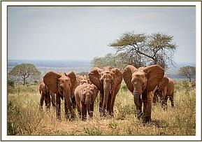 Tahri among the Voi orphan herd