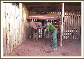 A keeper cleaning Panda's stable