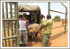 The calf is offloaded at the Voi stockades
