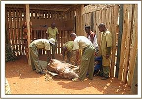 The calf is placed in one of the stockades at Voi