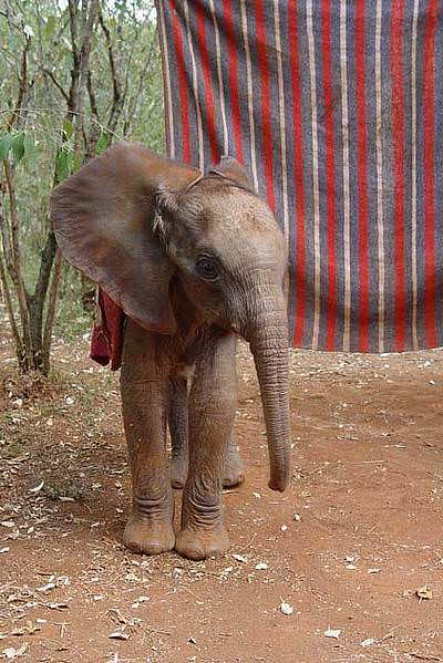 Male ♂ African Bush elephant Kamboyo at Tsavo National Park