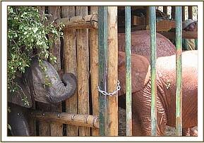 Lenana is introduced to the other nursery elephants
