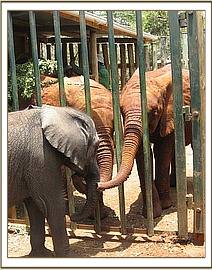 The other nursery elephants meet Lenana