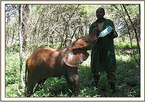 Chyulu taking her milk