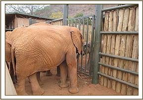 Wasessa and the other Voi orphans greet the orphan at the Voi stockades