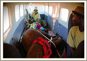 The two orphan calves in the rescue plane