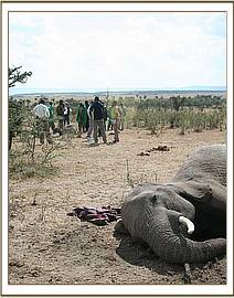 The tragic scene - the stricken mother euthanized and left on the plains of the Mara.