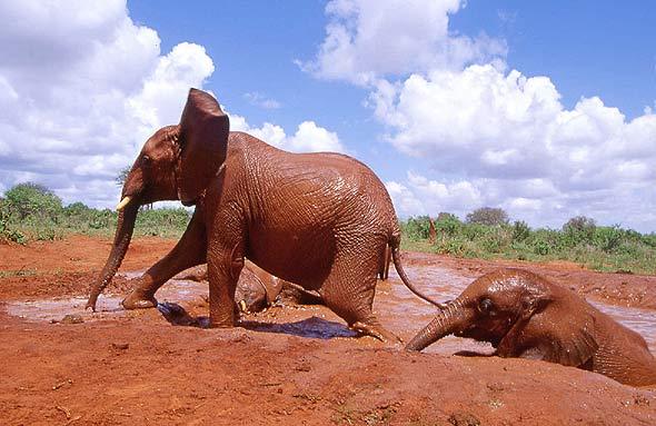 Female ♀ African Bush elephant Aitong at Tsavo National Park