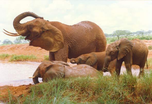 Female ♀ African Bush elephant (<em>Loxodonta africana</em>) Eleanor at Tsavo National Park