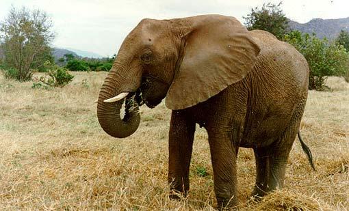 Female ♀ African Bush elephant (Loxodonta africana) Mary at Tsavo National Park