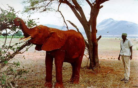 Male ♂ African Bush elephant (Loxodonta africana) Taru at Tsavo National Park