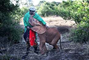 Elephant Orphan with Keeper