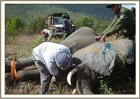 Monitoring an immobilised elephant