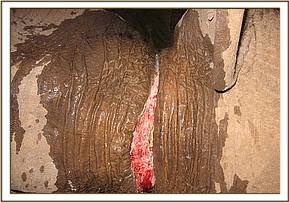 The wound caused by the snare