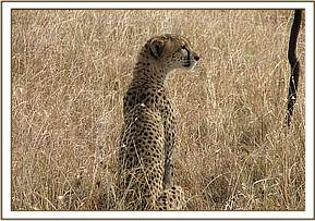 One of the cheetahs