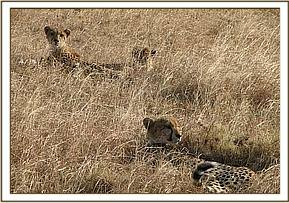 Cheetahs with mange