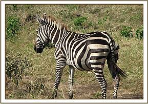 The injured zebra