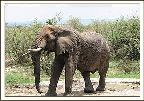 The injured elephant