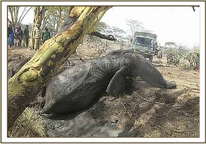 The elephant was hauled out using ropes and a lorry