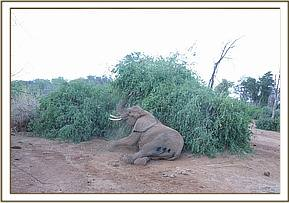 The elephant cow wakes up after treatment