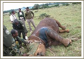 treatment of wounded white rhino