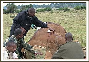 treatment of wounded white rhino in Mt Kenya