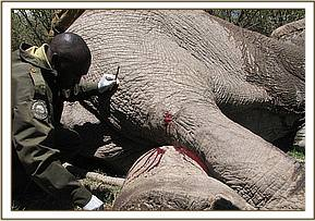 elephant in Lemek being treated