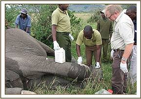 treatment of wounded elephant in the Mara
