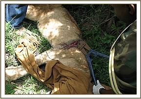 treatment of snared lioness