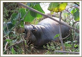 The pygmy hippo in the bushes