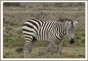 Walking away to find some other zebras