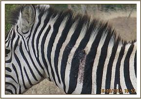 Locating the zebra with the arrow wound