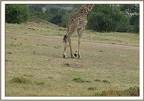 Locating the giraffe with a snare