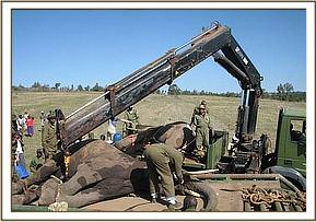 Captured elephants ready for loading