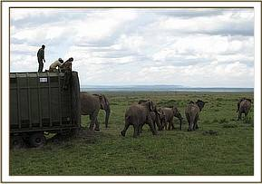 A family of elephants being released in the Mara