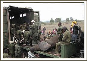 Loading the captured elephants for transportation to the Mara