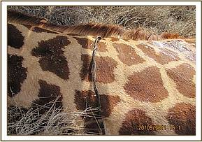 The snare around the giraffes neck