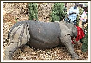 Immobilized rhino after ear notching