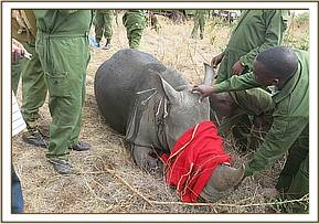 Immobilized rhino ready for ear notching