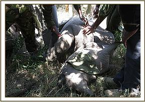The immobilized injured rhino