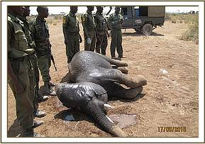 The elephant with a spear wound