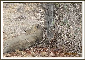 This lion was reported with an injury caused by a buffalo